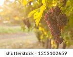 grape harvest italy | Shutterstock . vector #1253102659