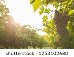 grape harvest italy | Shutterstock . vector #1253102680