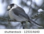 Gray Jay perched on a tree branch. - stock photo