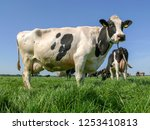 black pied cow with full udder... | Shutterstock . vector #1253410813