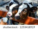 Feeding Milk Replacer To Calves ...