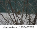 sparrow settled in the branches ... | Shutterstock . vector #1253457070