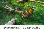 Male Reeves Pheasant Walking In ...
