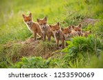 Red Fox  Vulpes Vulpes  Small...