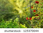 Stock photo red roses in summer morning garden 125370044