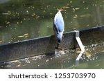 Night Heron Is An Apex Predato...