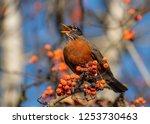 An American Robin  Turdus...