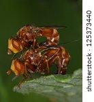 Small photo of Fly Conopidae,Sicus ferruginea