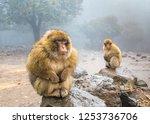 Barbary Macaque Monkeys Sittin...