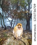 Barbary Macaque Monkey Sitting...