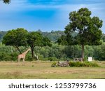 giraffe at calauit safari park... | Shutterstock . vector #1253799736