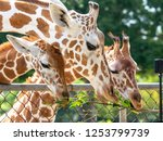 giraffe eating grass at the... | Shutterstock . vector #1253799739