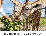 giraffe eating grass at the... | Shutterstock . vector #1253799799