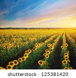 Field Of Sunflowers....