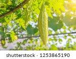 bitter melon  balsam pear ... | Shutterstock . vector #1253865190