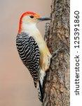 Female Red Bellied Woodpecker ...