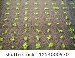 growing organic hydroponic... | Shutterstock . vector #1254000970