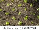 growing organic hydroponic... | Shutterstock . vector #1254000973