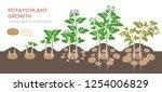 Potatoes Plant Growing Process...