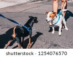 Stock photo two little dogs meet on the street 1254076570