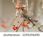 the bohemian waxwing ...   Shutterstock . vector #1254196450