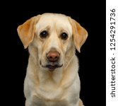 sad portrait of labrador... | Shutterstock . vector #1254291736