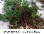 illegal felling of firs.... | Shutterstock . vector #1254305539
