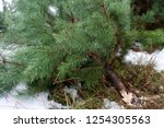 illegal felling of firs.... | Shutterstock . vector #1254305563