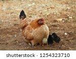 chicken with their chicks | Shutterstock . vector #1254323710