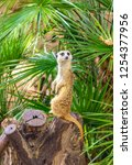 suricata suricatta sitting on a ... | Shutterstock . vector #1254377956