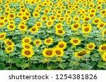 beautiful field of sunflowers. | Shutterstock . vector #1254381826