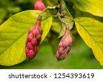 Seed Pods Of Magnolia Sieboldii ...