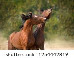bay horses play and bite outdoor | Shutterstock . vector #1254442819