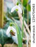closeup of honey bee  apis... | Shutterstock . vector #1254704083
