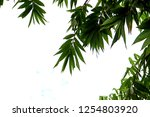 bamboo leaves isolated on a... | Shutterstock . vector #1254803920