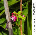 Flowers Of Malus  A Genus Of 5...