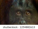 Up Close Of Orangutan Eyes