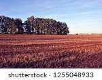 field of harvested wheat  rye ... | Shutterstock . vector #1255048933