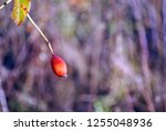 branch of ripe wild rose berry... | Shutterstock . vector #1255048936
