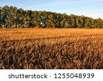 field of harvested wheat  rye ... | Shutterstock . vector #1255048939