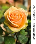 Stock photo beautiful rose in the garden 125508764