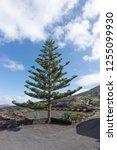 Norfolk Pine. Latin Name...