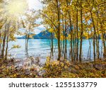 the golden foliage of aspen and ... | Shutterstock . vector #1255133779