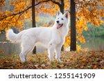 white swiss shepherd dog in... | Shutterstock . vector #1255141909