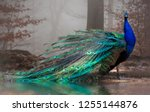 The Elegant Peacock With Its...