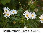 pure white little flowers in... | Shutterstock . vector #1255152373