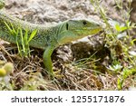 ocellated lizard  also known as ... | Shutterstock . vector #1255171876