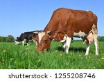 cows  on a summer pasture   Shutterstock . vector #1255208746
