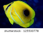 Bluelashed butterflyfish (Chaetodon bennetti) - stock photo