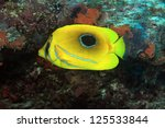 Bluelashed butterflyfish (Chaetodon bennetti) in the coral reef - stock photo